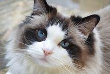 Ragdoll Cat Love <3