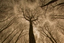 Towering Trees / by Cindy Bugg