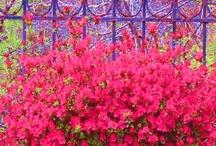 Azaleas / by Cindy Bugg