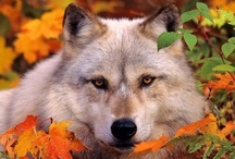 Canis Lupus / All about wolves