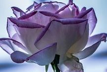 THE COLOR PURPLE / My Very Favorite Color With The Many Gorgous Shades / by Sandy Czarnetzke