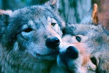 Save the Wolves / Noble & misunderstood - being massacred to the brink of extinction in western U.S. - places they're endemic to but where a blood thirsty few want to wipe them out again.  They deserve protection.  States such as ID have bounties  on them - they're being delisted from the Endangered Species Act despite not being sustainably recovered. Tell the US Fish & Wildlife Svc to keep them ON the list.  Our grandkids will hold us in contempt for their loss.  Donate to NRDC, Sierra Club, Earthjustice.