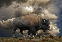 Buffalo Medicine / The invitation to explore natural abundance through the spirit and energy of Buffalo.
