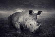 Rhino Spirit / Guidance from Rhinoceros