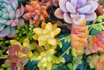 Everything Succulents / by Sue Blanchard
