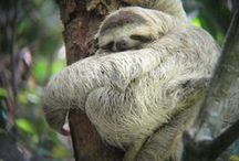 Sloths, Slooths, Sloooths / Sloths have a gigantic population in Costa Rica and while Adorable they get hurt a lot. With this board we hope to raise awareness of sloths and jus how Amazing they are! / by Four Seasons Resort Costa Rica