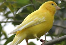 Canaries / by Barb Gonzalez Olsen