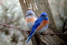 It's a Blue Bird kind of day! / The thrill of seeing that flash of brilliant blue with that spot of red... Blue Bird!  On morning walks along the bottom pasture they will play tag with me, flitting to the next  fence post just as I come up on them. / by Sharon Anderson