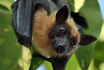 All Things Bat ! / For my Mum , she loved Bats ! / by Dinah Lees