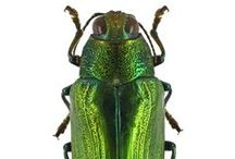 Beetlemania / photos of beetles and bugs as pretty as jewels