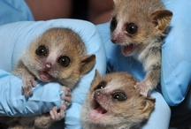 Duke's Lemurs / by Duke University