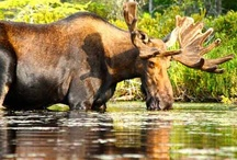 Adirondack Wildlife / Photos of all the beautiful animals that call the Adirondacks home. / by Adirondack Mountains