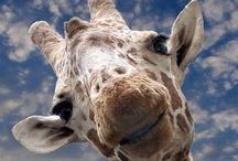 """L'Opéra des Girafes / """"Comme les girafes sont muettes, la chanson reste enfermée dans leur tête. C'est en regardant très attentivement les girafes dans les yeux qu' on peut voir si elles chantent faux ou si elles chantent vrai."""" - Prévert, L'opéra des girafes"""