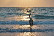 "Birding & Wildlife / See a manatee, diving dolphins, sea turtle hatchlings, migratory birds, mangroves and so much more. The J.N. ""Ding"" Darling Wildlife Refuge is a great place to observe the many species who call SWFL home.   / by The Beaches of Fort Myers & Sanibel Florida"