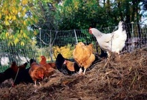 FARM - Cluck cluck cluck / Sweet Adorable Chickens and how to raise them!