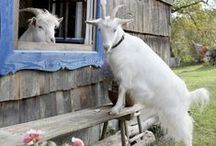 FARM - Get Your Goat / All about cute furry critters called goats!