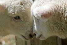 Baah . . . Baah / Sheep / by Barb