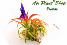 Air Plants Video Series / Our video series on air plant care, design and varieties.  / by Air Plant Shop.Com