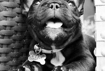 • oliver jacques • / • french bulldogs make me swoon • / by Sara Ott