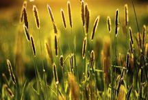 Golden fields / The golden fields
