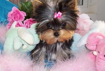 I heart Yorkies / by Stephanie Eckman