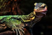 Reptiles | Amphibians | Insects / Reptiles, Amphibians, Vivariums, insects and reptile habitats.  All these living creatures fascinate me to no end. I respect their life and appreciate the beauty they bring to this world.