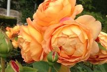Stop And Smell The Roses / Roses are loved for their timeless beauty and fragrant blooms. There are countless varieties of roses; learn which ones will work best in your outdoor space.