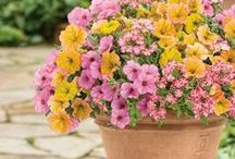 Amazing Annuals / Annuals provide great colour, form, and texture to any garden. They will flower continuously (with the proper care) until the frost hits. There are so many annuals to choose from; whether you plant a few or a lot, you will never be bored!