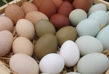 { Chickens } / Raising chickens for eggs, insect control, and fertilizer.