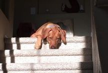Rhodesian Ridgeback <3 / Rhodesian Ridgebacks- The African Lionhound. Mostly pictures of Nala but other pups too!
