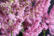 Astilbe / A collection of the shade-loving perennial Astilbe; a perennial with beautiful, showy flowers atop glossy, fern-like foliage.