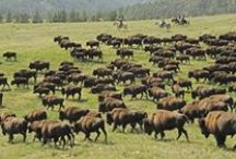 Custer State Park / The second largest state park in the country has it all - trails, lakes, winding roads and wildlife
