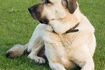 Great Large Breed Dogs / All my favorite large breed dogs--all of those that are about 45 to 88 pounds.