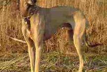 African Dog Breeds / Dog Breeds originating in Africa