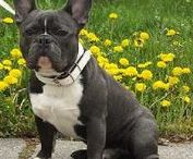 Just Bulldogs / All Bulldogs Especially for the Bulldog Lovers of the World