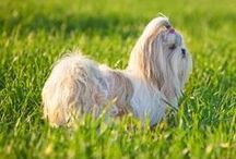 Apartment Dog Breeds / Dogs that are perfect matches for those who live in apartments or small areas.