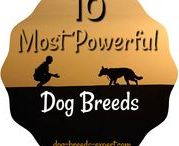 Powerful Dog Breeds / Powerful dog breeds make great working dogs and pets, but they also require an experienced owner.  Up for the Task?