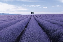 Lavender / by kicostyle