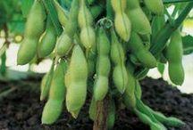 Crops: Soybeans / by Georgia Farmer