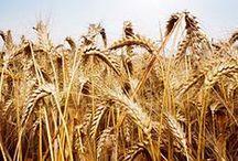 Crops: Wheat / by Georgia Farmer