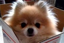 Poms / Poms- the cutest little dogs ever