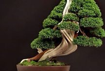 Bonsai Beauties. / Being a bonsai lover how could I not have a board of bonsai beauties.  / by Julie Mariner