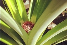 spike the pinapple / my pineapple i grew from the top of another pineapple