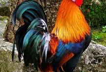 Chicken's & Farm Bird's / Chickens, Chicken coops and other farm birds