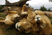 l e o  / the energy of the lion.