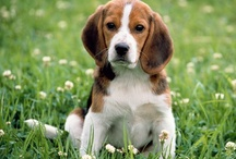 Beagle Love / by Cookie Hunt Rice
