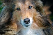 Shelties--The Best Dogs in the World! / by Tammy Lewis
