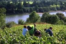 Les 4 saisons dans le vignoble du Val de Loire / Des vendanges à la floraison en passant par la taille, quatre saison dans le Val de Loire.