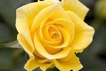 Yellow Roses / by Loura Kingsley