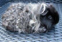 Piggies / Beautiful Guinea Pigs, the perfect little pet to love and cherish.
